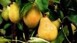 В Северной Осетии заканчивают собирать плодовые