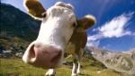 Чтобы коровы не болели