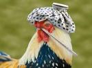ptichiy-gripp-opisanie-zabolevaniya