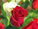 Розовые плантации
