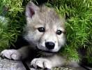 Волчонок-1