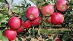 И в Црау будут яблони цвести