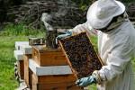 Осваивает пчеловодство