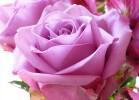 30 сортов роз