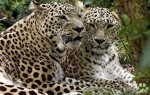 Благодаря леопардам