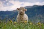 Ставка на овец