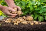 66 тыс  тонн картофеля
